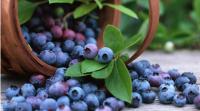 每天食用150克蓝莓可有效降低心血管疾病风险