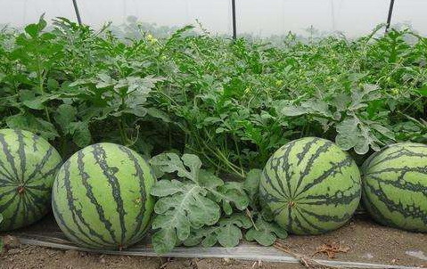 湖北石首助推西甜瓜产业绿色高效转型