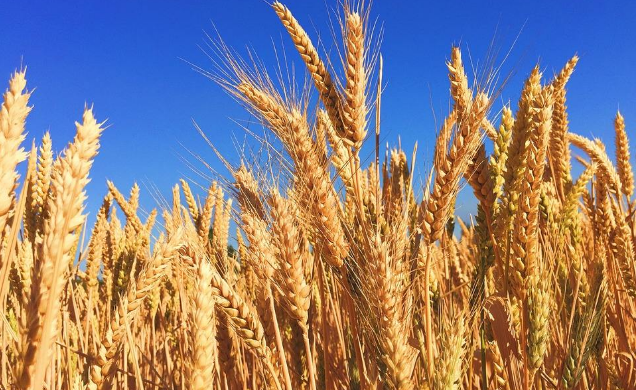 全国小麦机收大会战圆满收官