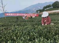 筠连玉壶生态茶业公司茶园添新绿采摘春茶忙